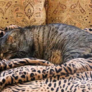 Cooper asleep on his tiger blanket