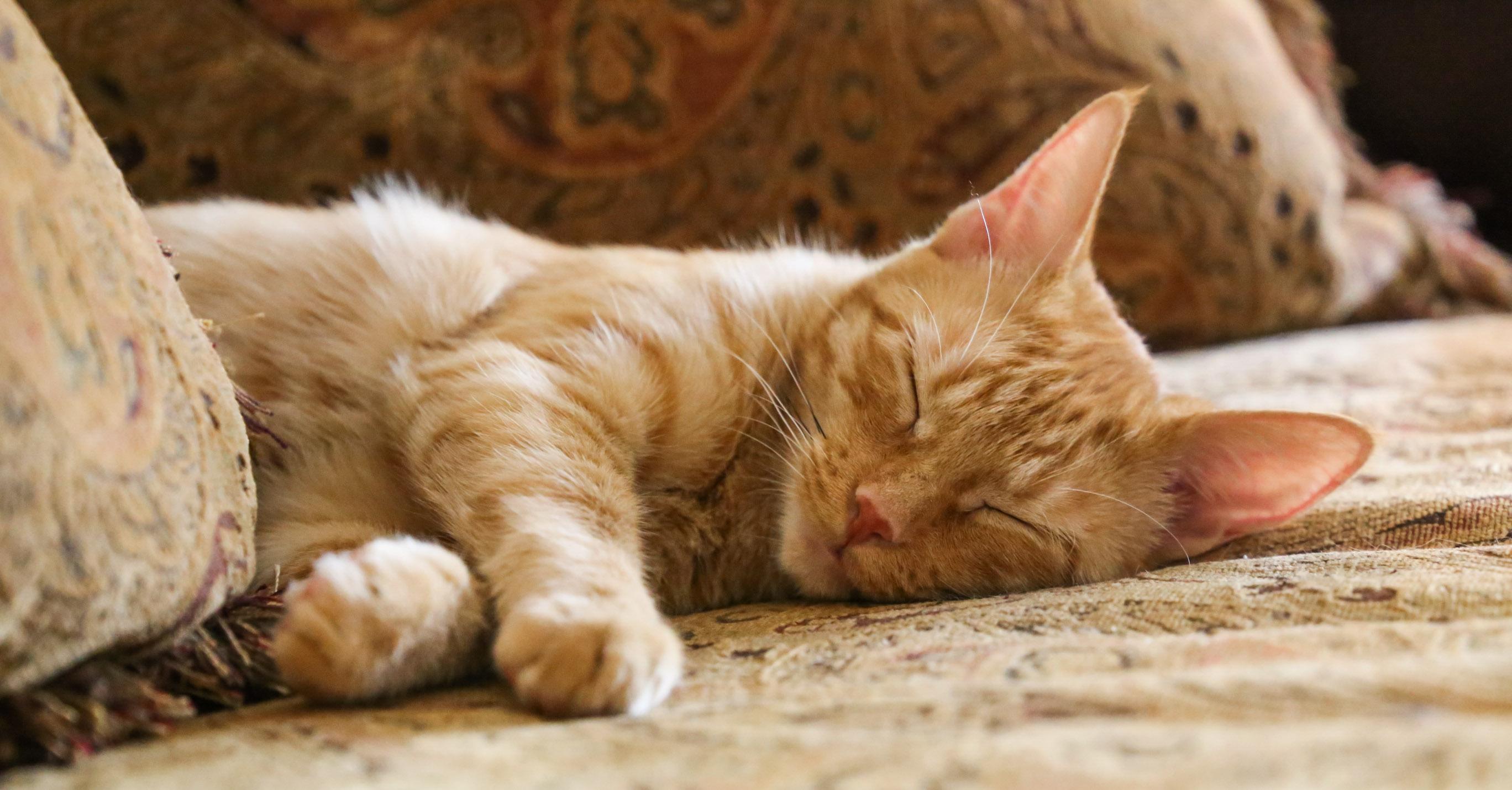 Marmalade Sleeping